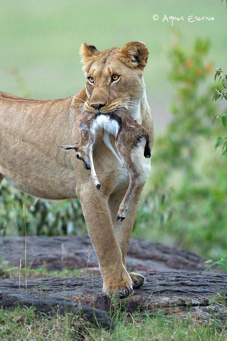 Jeune lionne (fille de Bibi) ayant attrapé un bébé gazelle de Thomson