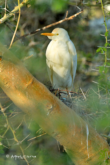 Héron garde-boeufs au nid