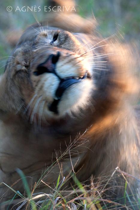 Jeune lion s'ébrouant