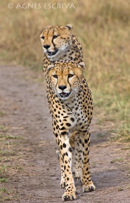 Le guépard à 2 têtes