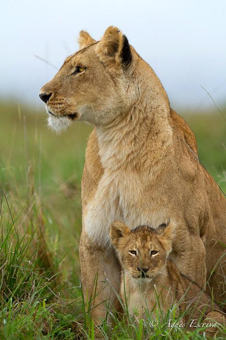 Mapema et lionceau