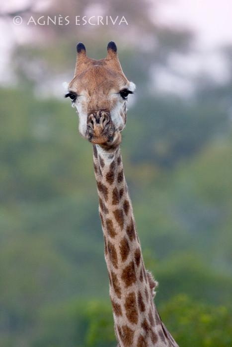 Girafe et son long cou