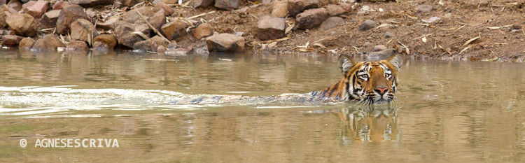 Jeune tigresse au bain