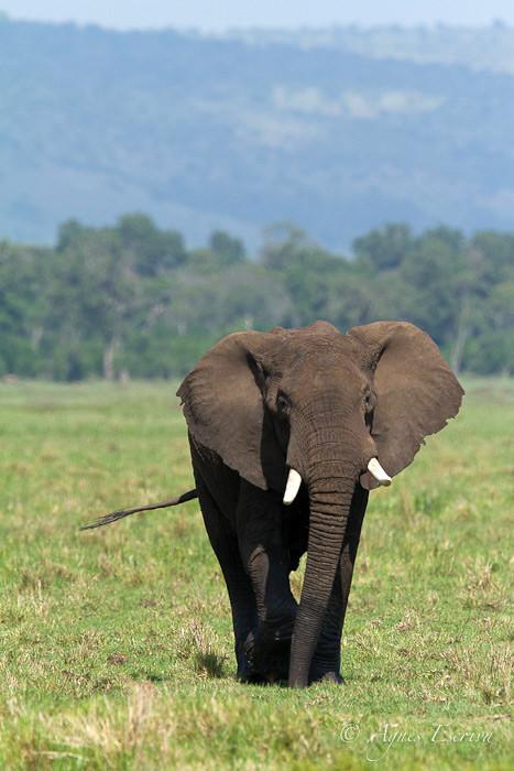 Jeune éléphant traversant le marais