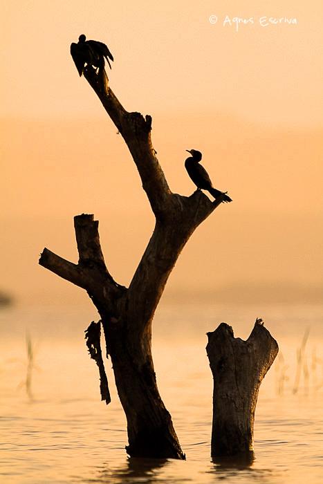 Silhouettes de cormorans d'Afrique