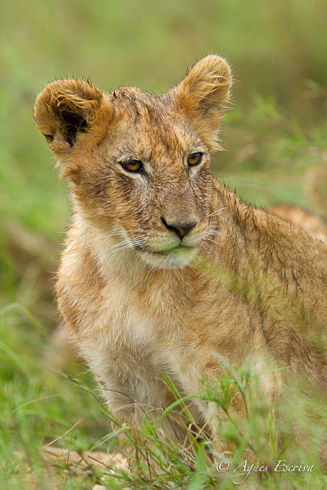 Lionceau de la Marsh pride (6 mois)