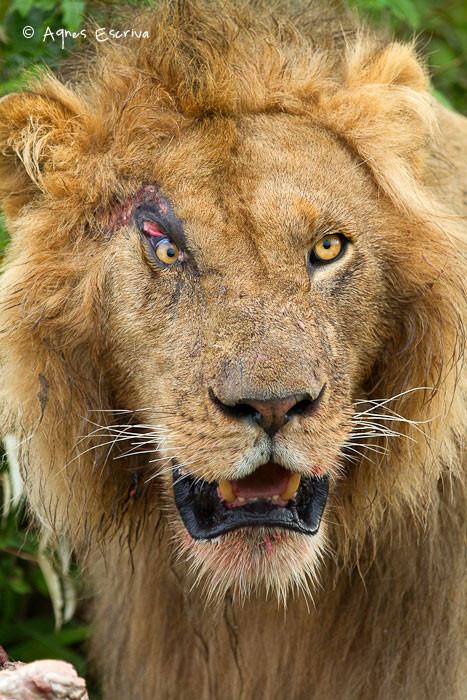 Scarface, un des 4 nouveaux mâles du clan du Marais