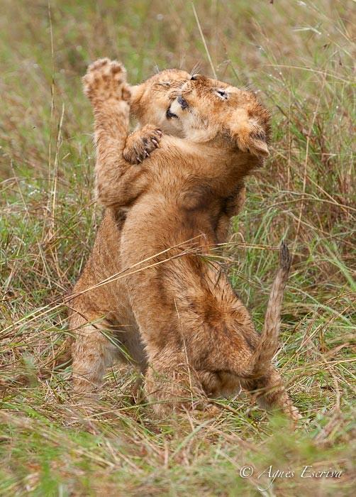 2 lionceaux de Charm (3 mois)