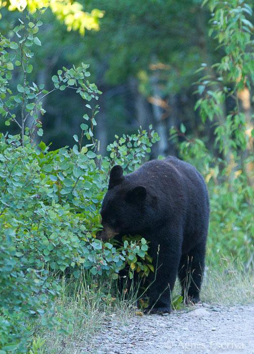 Ours noir mangeant des baies