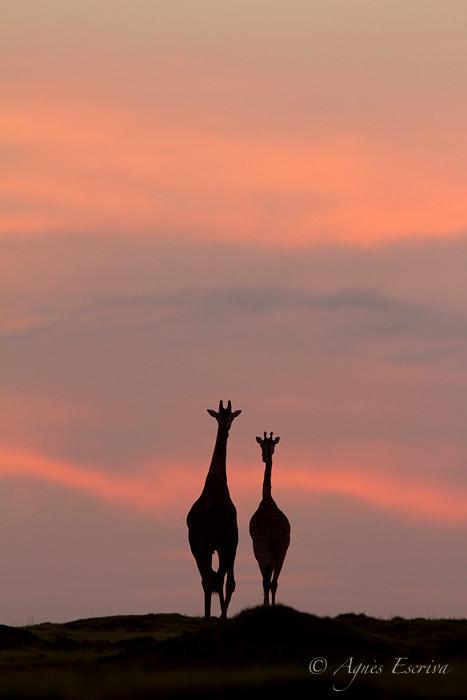 Couple de girafes au soleil levant