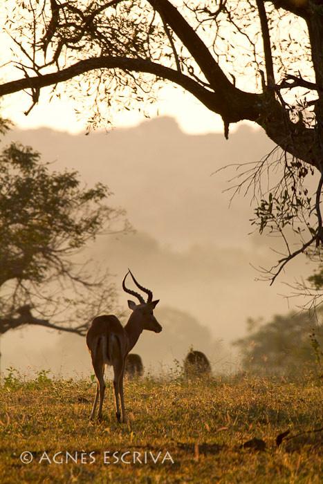 Impala mâle la matin 2