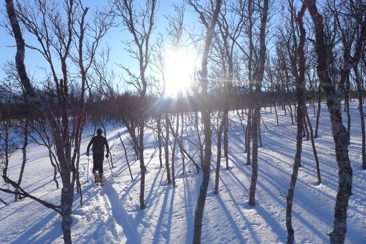 Durch lichte Birkenwäldchen - Skitouren Lyngen Alps