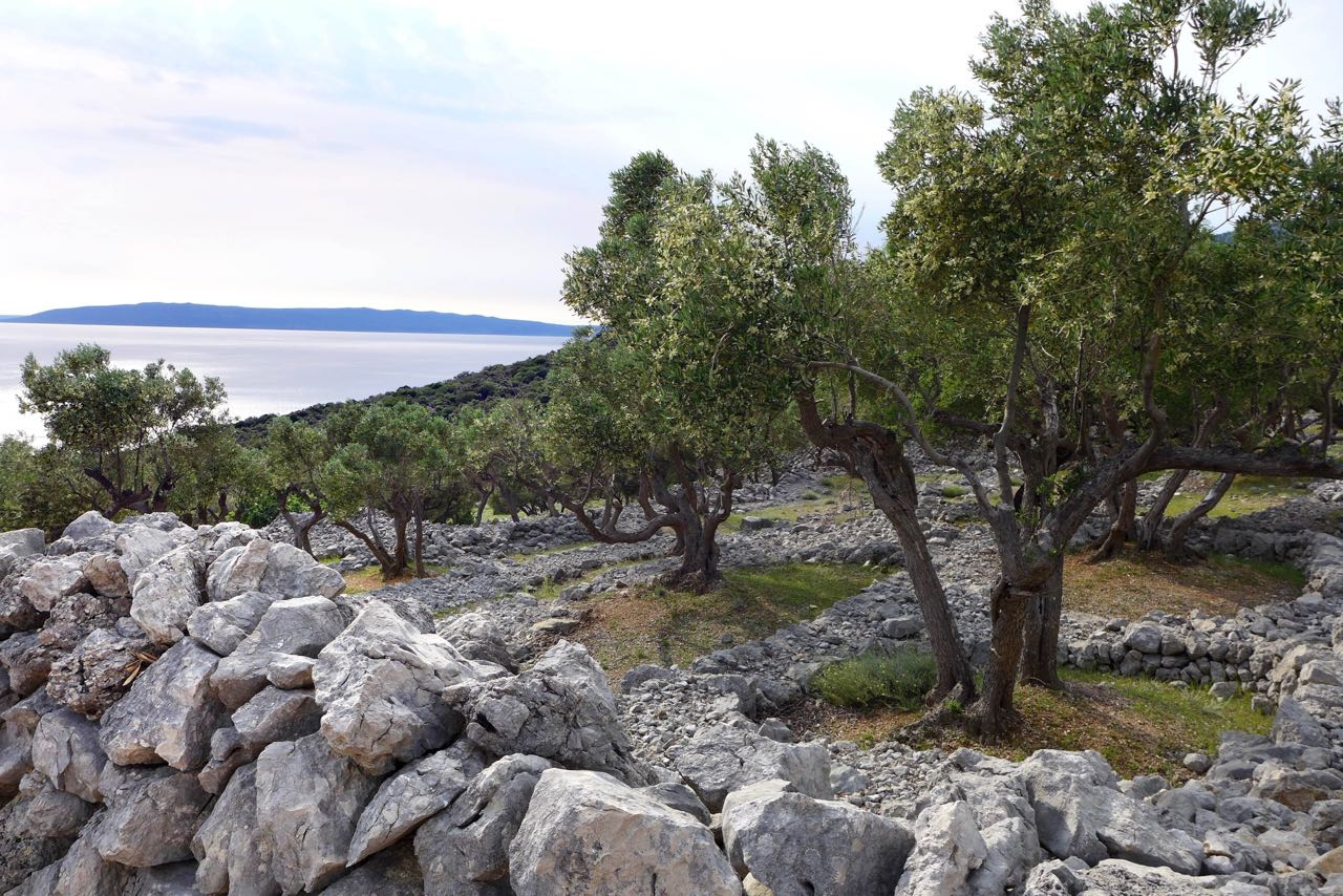 Wandern durch die alten Olivenhaine von Cres