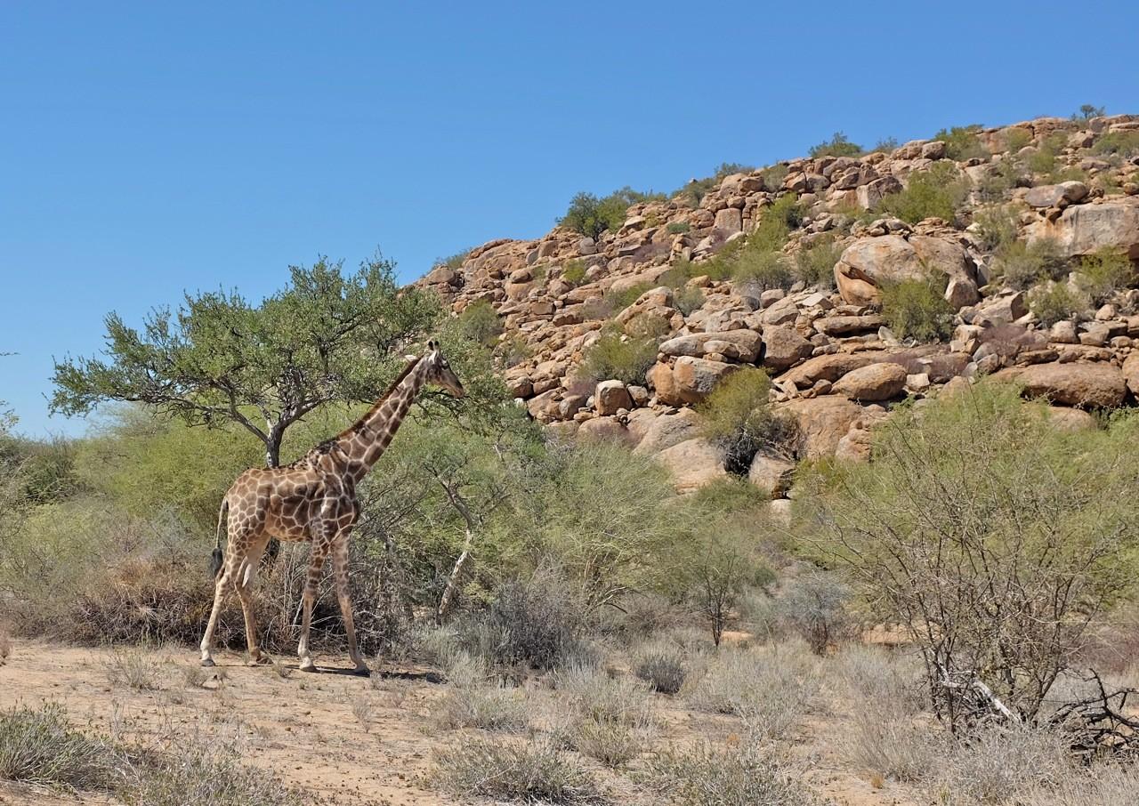 Genügend Tiere auf der Ameib Ranch Namibia
