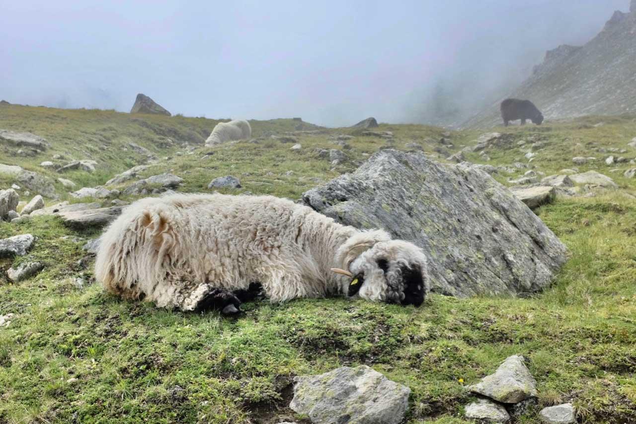 Walliser Schwarznasenschafe in Zermatt