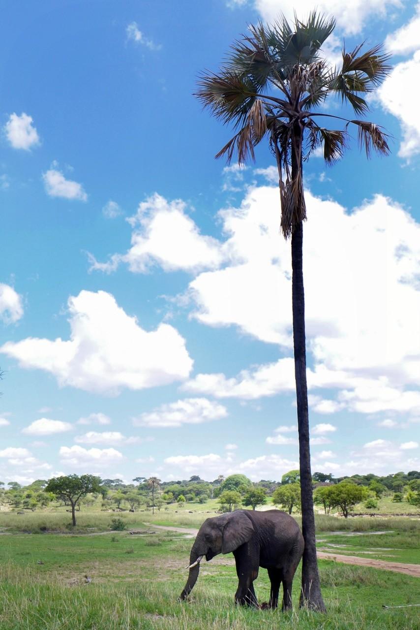 Im Tarangire National Park wachsen sogar Palmen