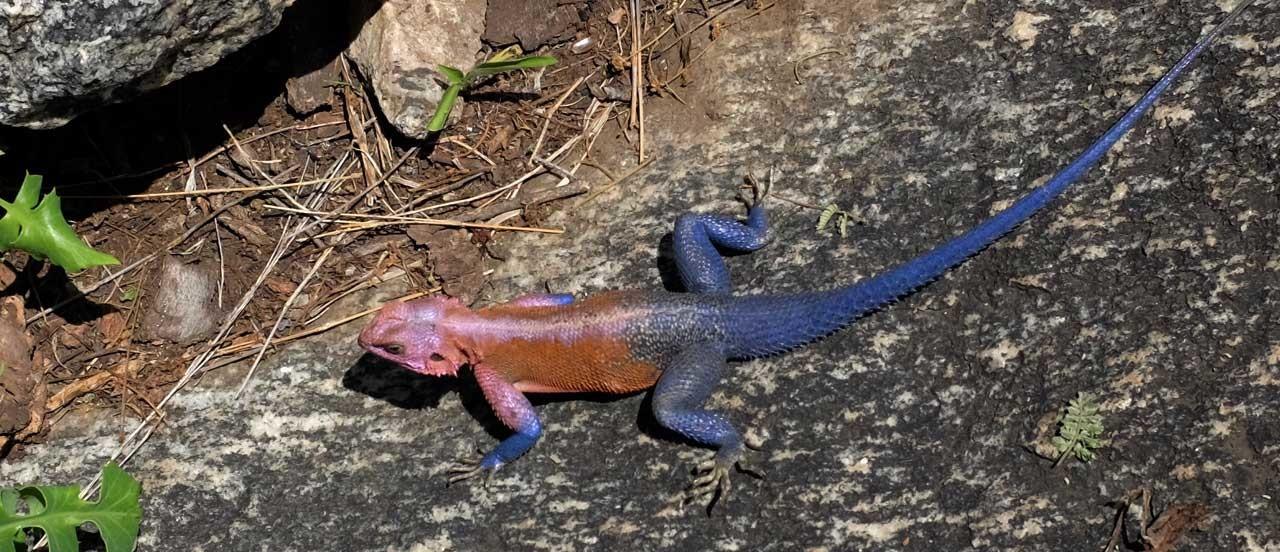 Nur die Männchen unter den Agama Echsen können ihre Farbe so leuchtend wechseln