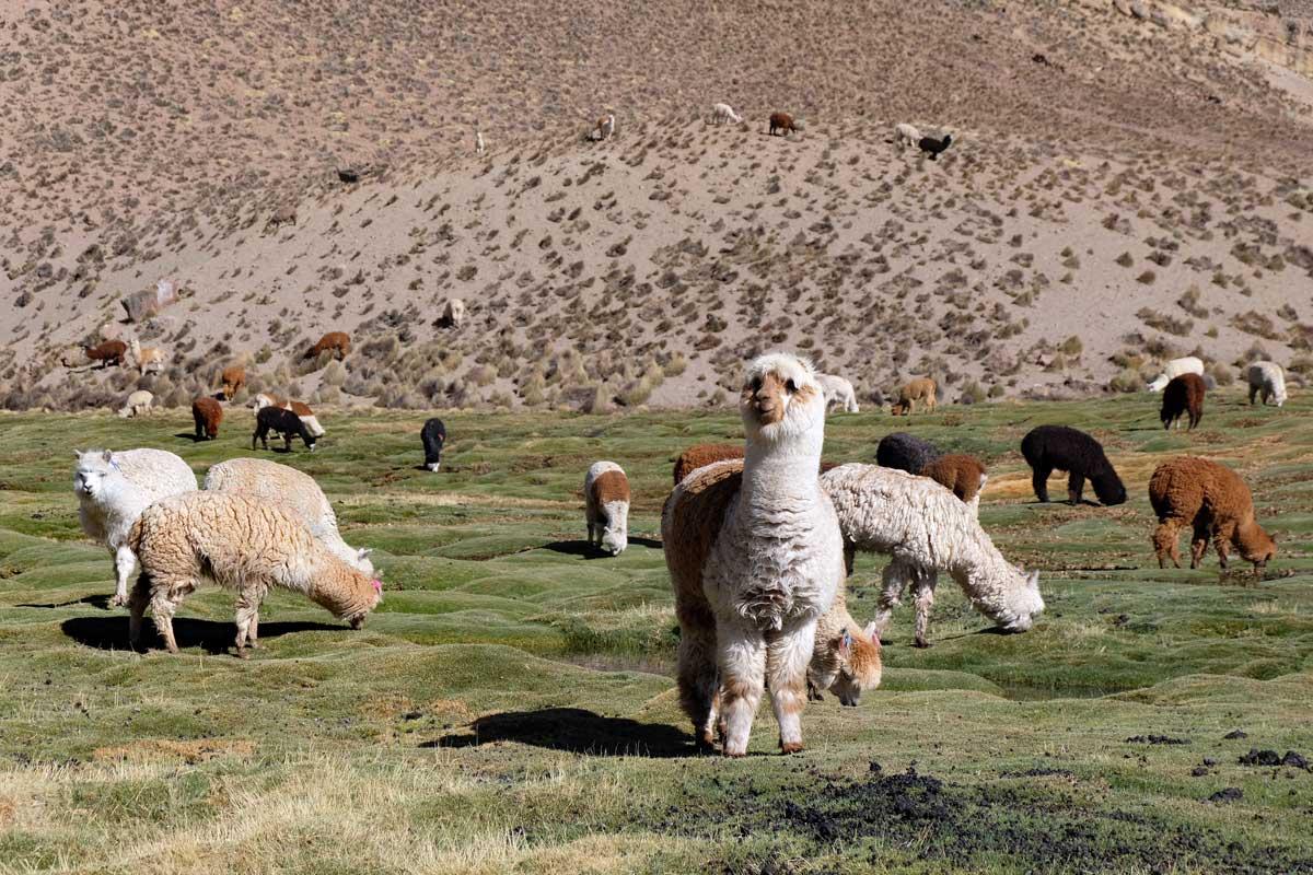 Alpakas im chilenischen Hochland