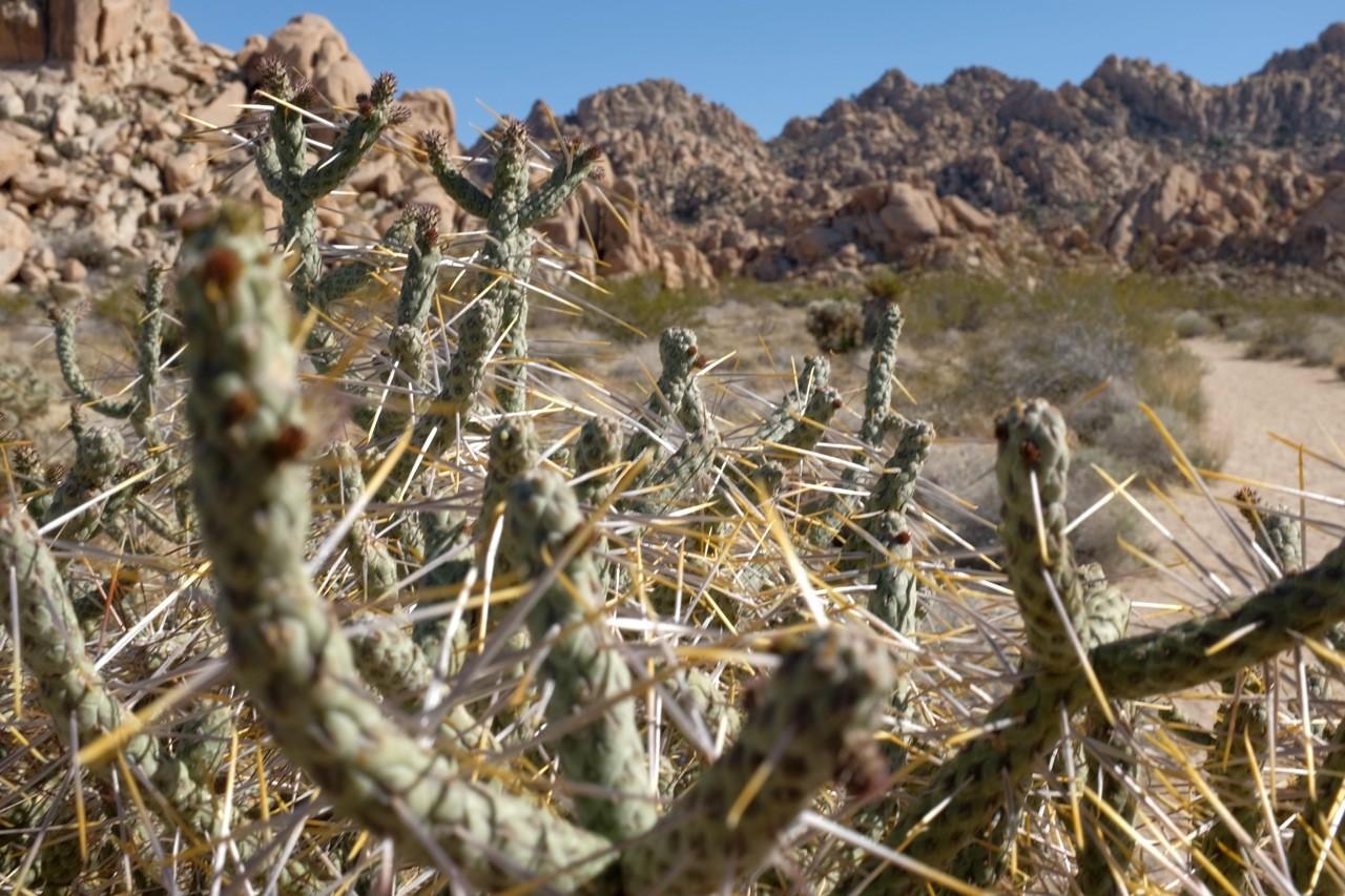 Bleistift-Cactus, Joshua Tree NP