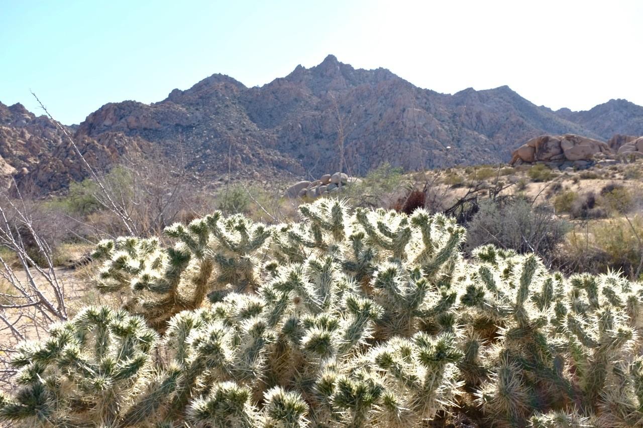 Colla Cactus Indian Cove Nature-Trail, Joshua Tree NP Wanderweg
