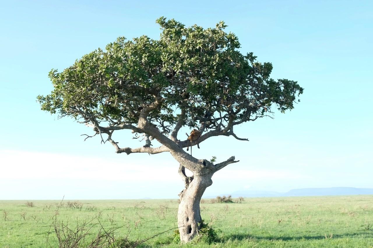 Baumlöwe in der Serengeti, Tansania