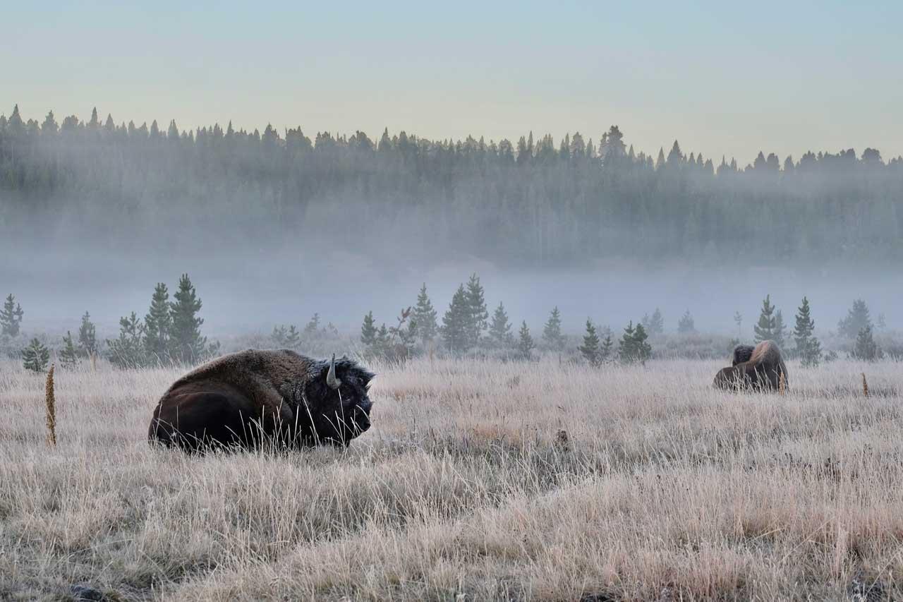 Bisons im Hayden Valley Yellowstone Nationalpark
