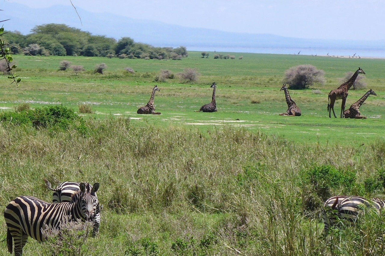 Giraffen am Beach im Lake Manyara Nationalpark Tansania