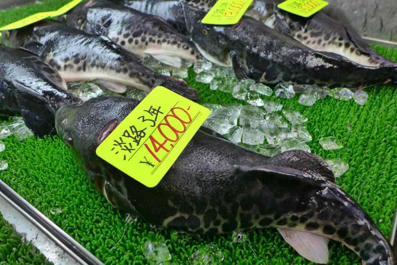 Den Fugo Fisch darf man sich selbst aussuchen – Kuromon Ichiba Food Markt Osaka