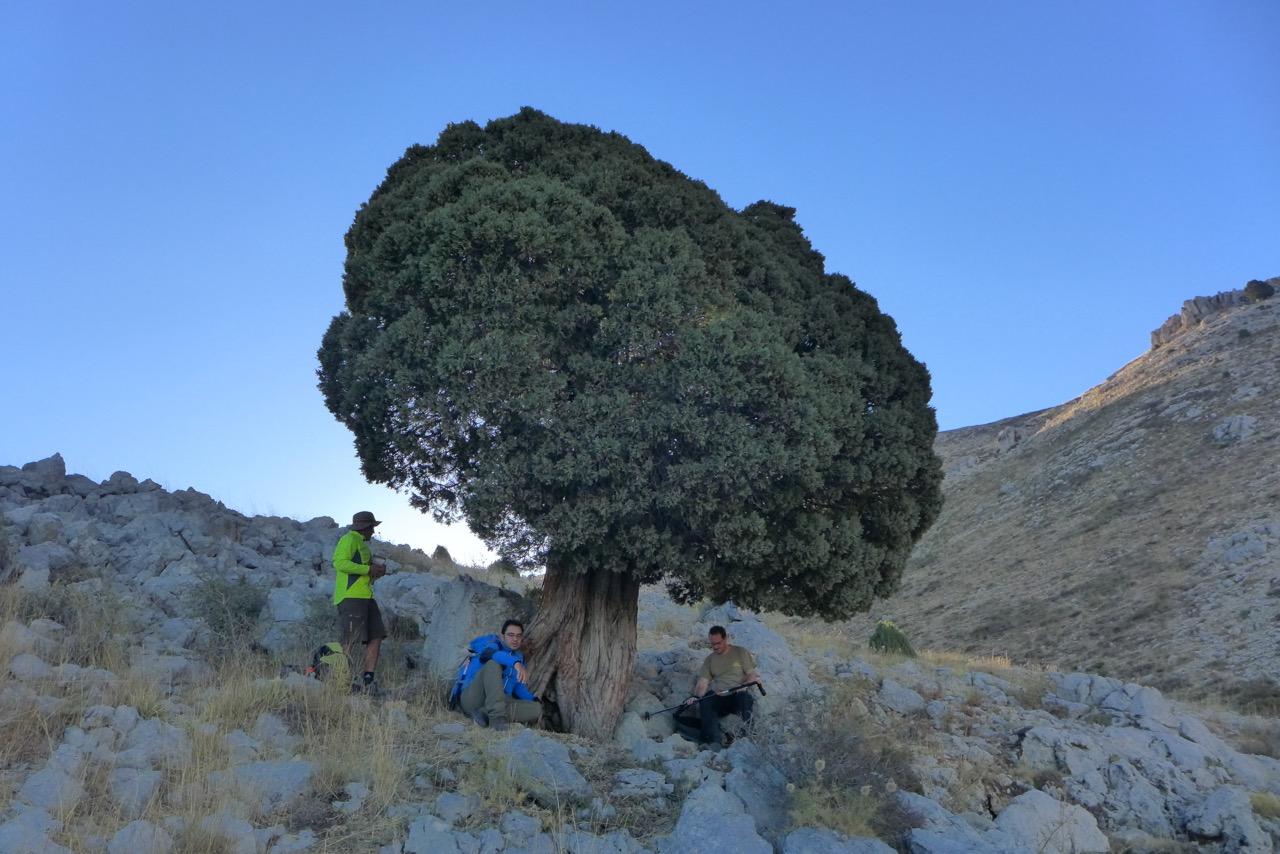 Juniper Berry Tree Lebanon Wacholderbaum Libanon