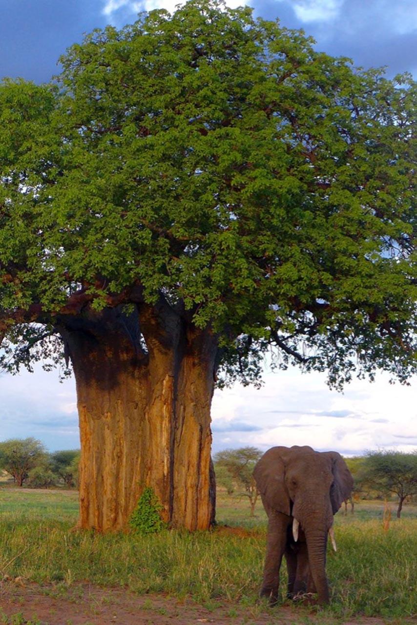 Im Tarangire National Park sind die Elefanten die Attraktion