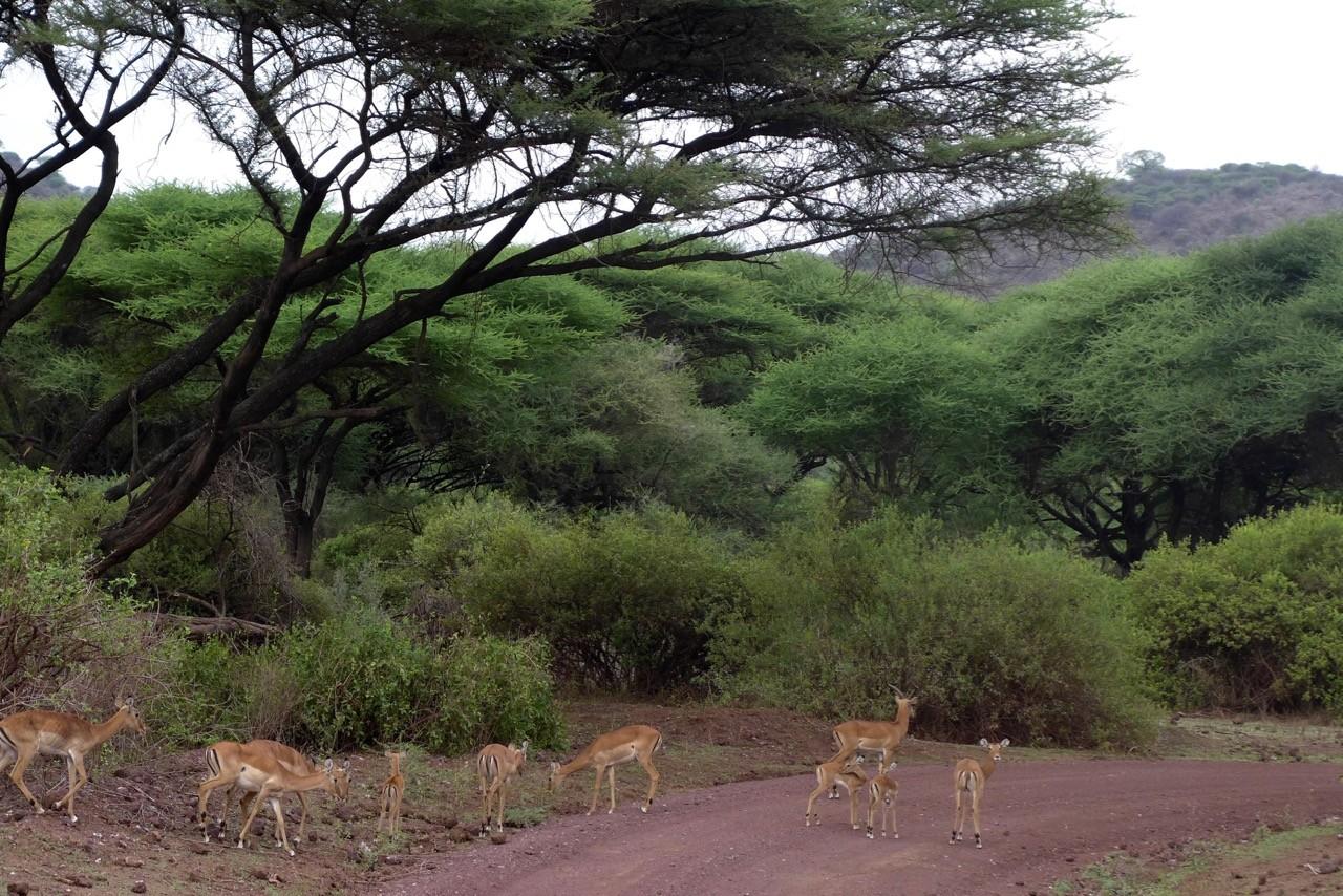 Pirschfahrt im Lake Manyara Nationalpark
