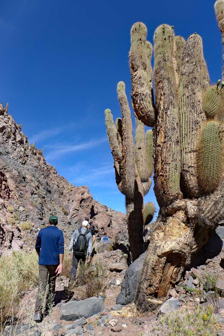 Riesenkakteen im Canyon bei Guatín, Atacama
