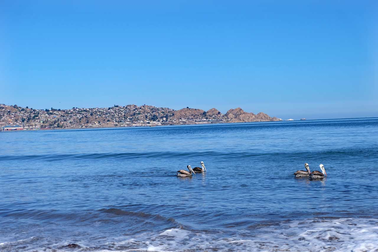 Pelikane vor Coquimbo