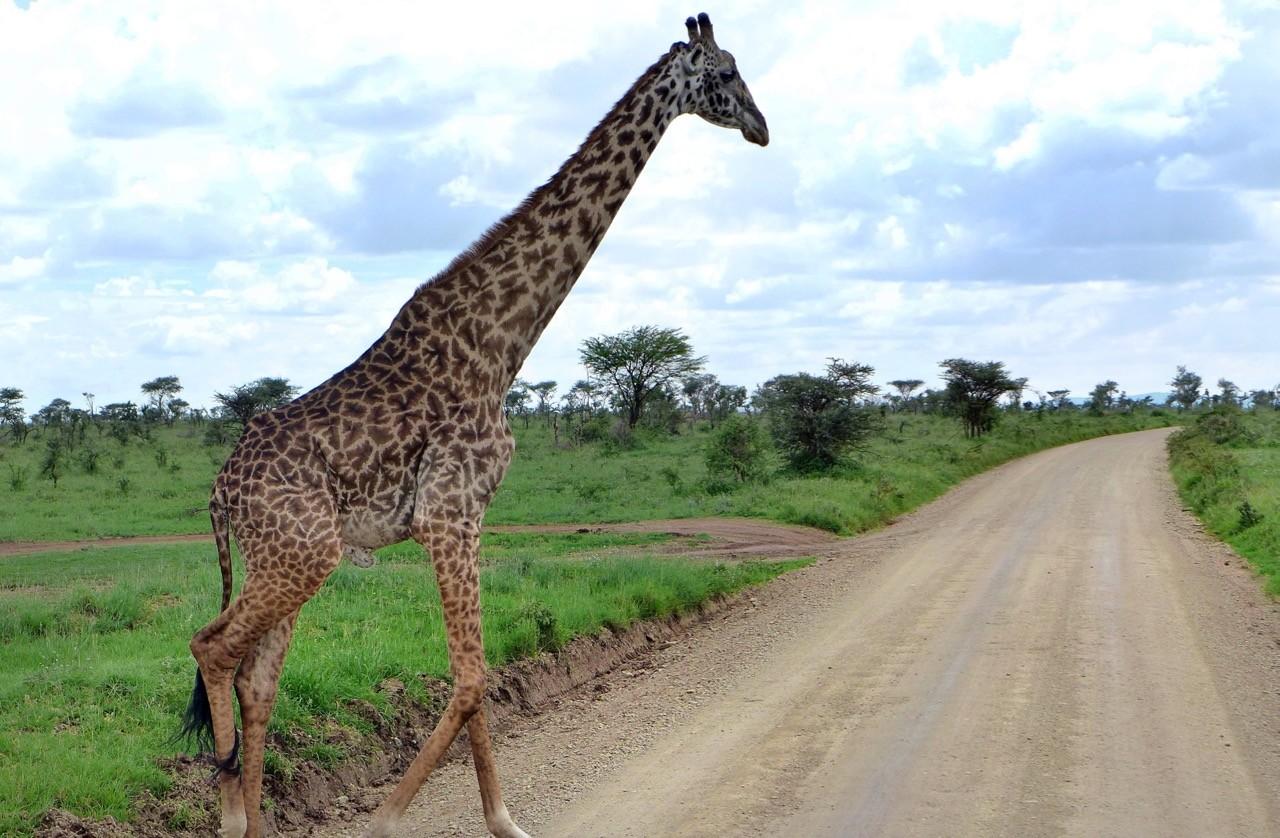 Sechs Meter hoch wird eine Giraffe