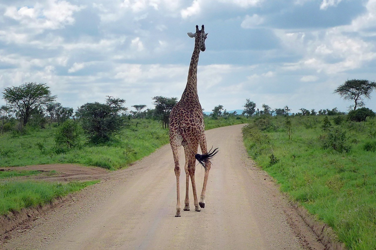 Einer der wenigen Verkehrsteilnehmer in der Nord-Serengeti