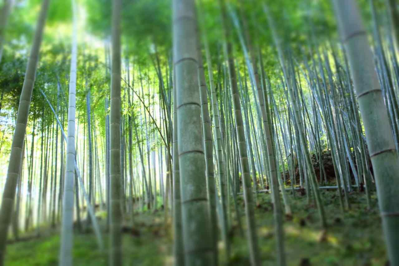 Den Arashiyama Bambuswald bei Kyoto besucht man am besten früh oder spät, er ist 24h geöffnet