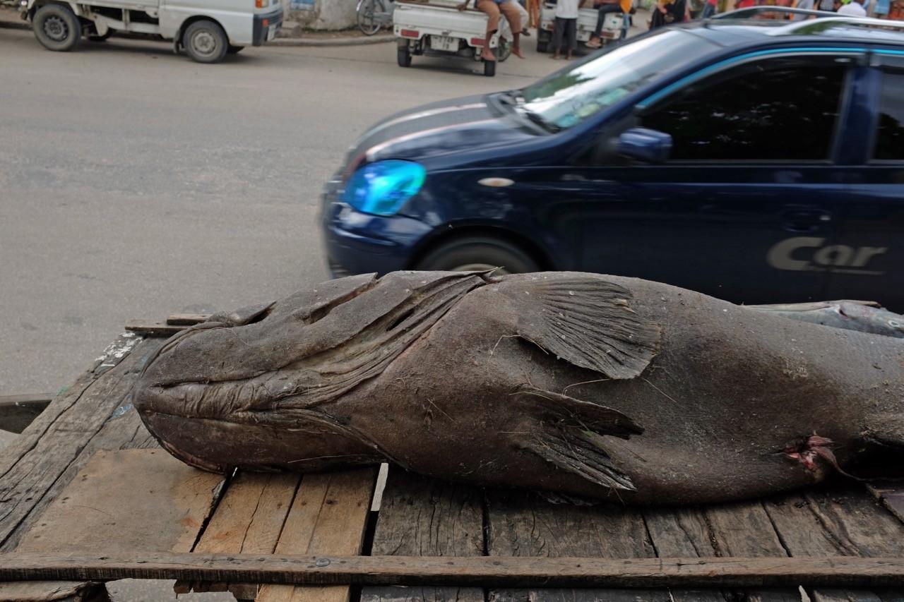 Riesenfisch im Darajani Market in Stone Town