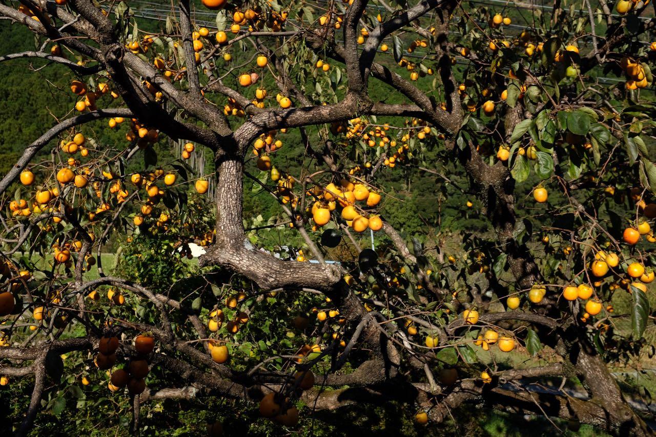Überall üppige Kakibäume, Komano Kodo Wanderung