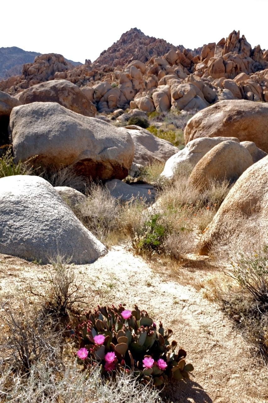 Bieberschwanz-Cactus Indian Cove Nature-Trail