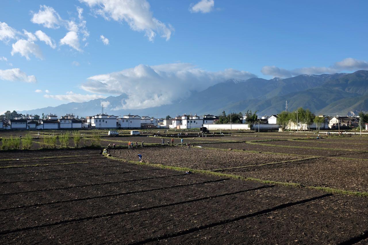 Im Dali Valley wechseln sich Knoblauch- und Reis-Ernte ab