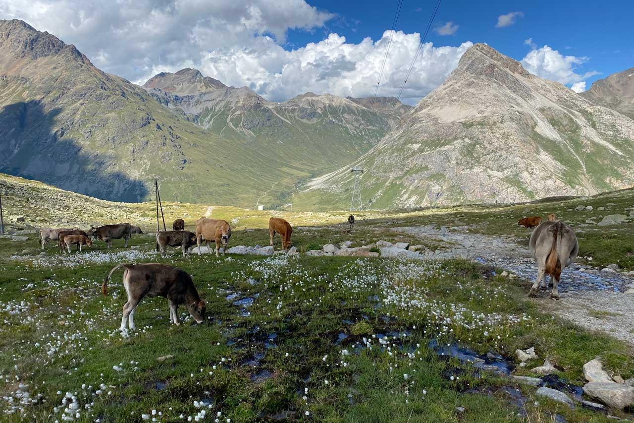 Kühe Diavolezza  Wanderung