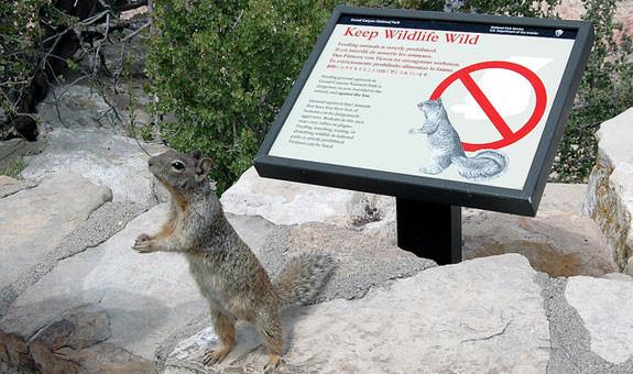 Zion NP Rock Squirrel