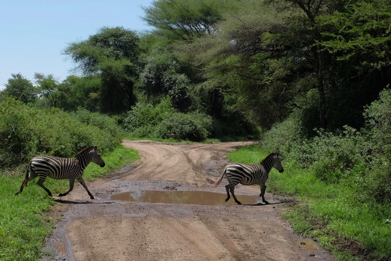 Zebras streifen im Lake Manyara Nationalpark