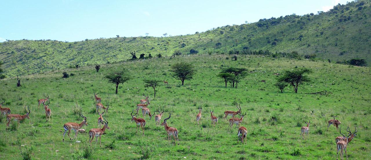 Antilopen Serengeti Tansania