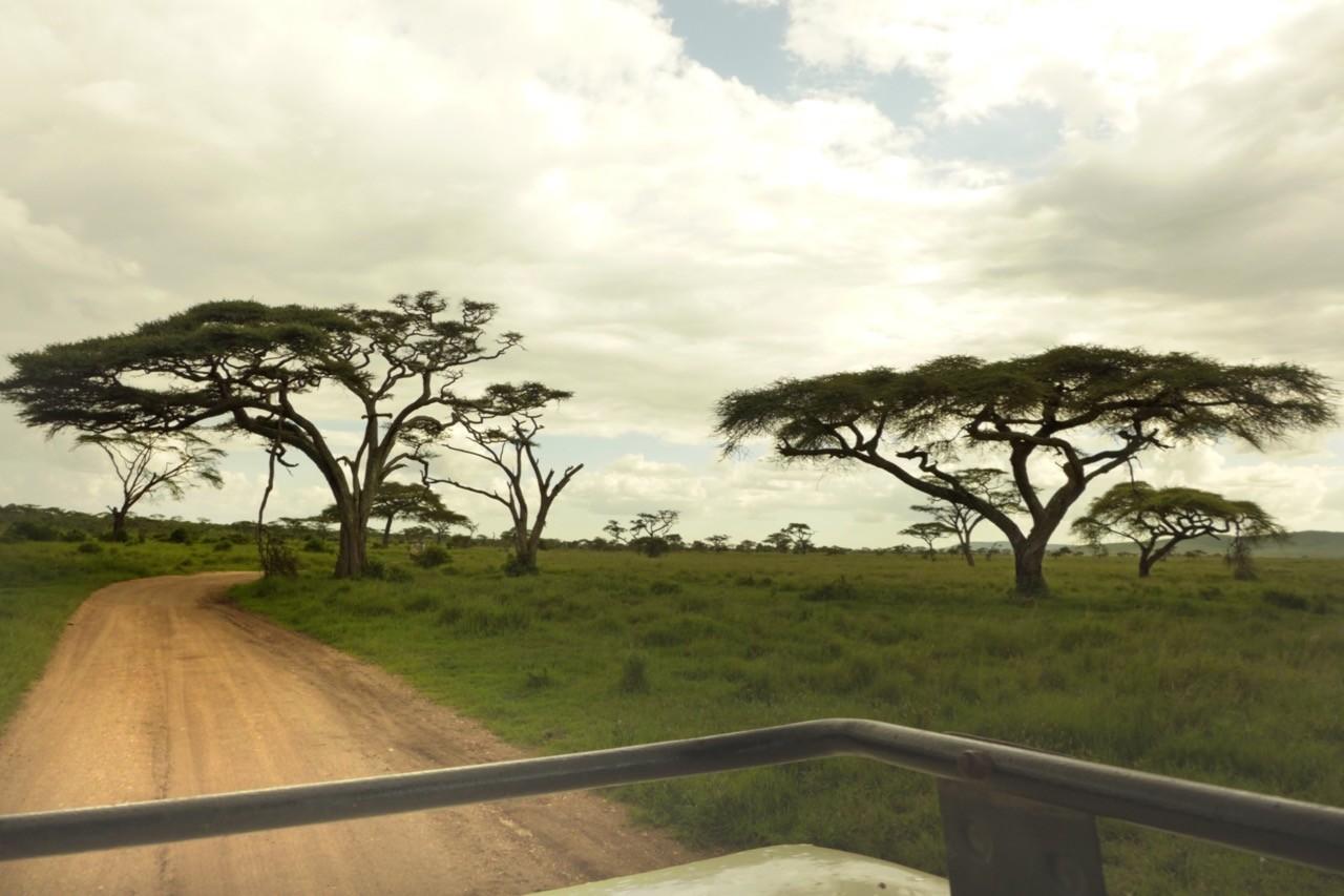 Schirmakazien, Serengeti Tansania