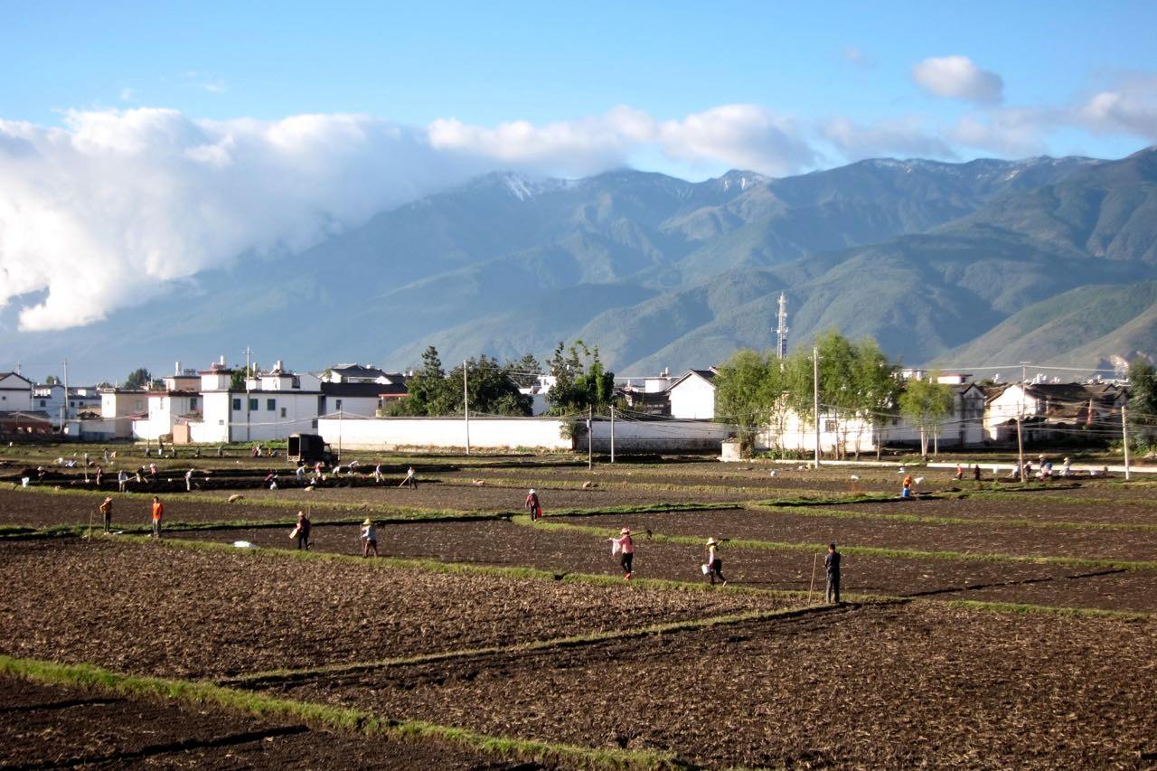 Koblauchernte in Xizhou