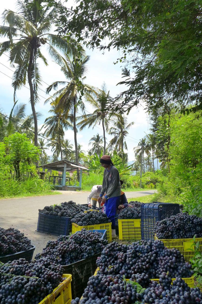 Auf Bali wird sogar Rotwein produziert