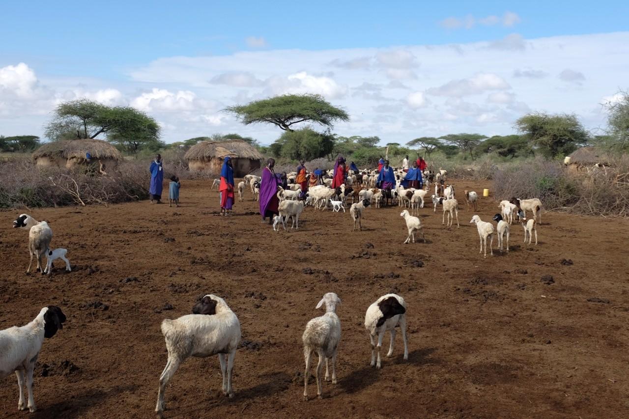 Im Mittelpunkt einer Boma steht das Vieh