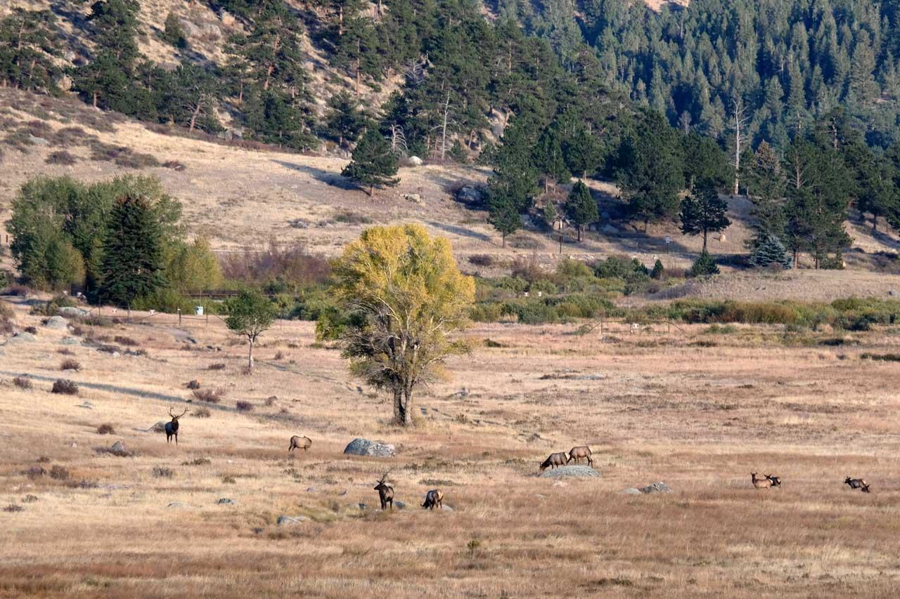 Im Moraine Park weiden im Herbst die Wapiti Hirsche zur Paarungszeit