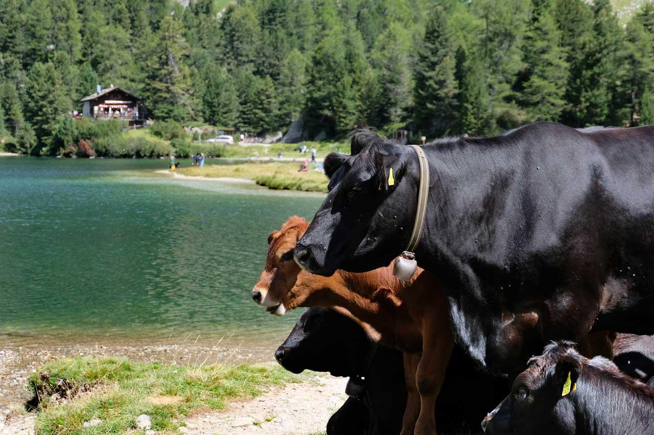 Kuhpublikum am Cavloc See, Wanderung Oberengadin-Majona
